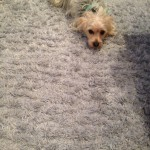 Olympia-Dog-carpet-clean