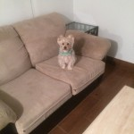 Olympia-Sofa-Pet-Stain-Cleaning